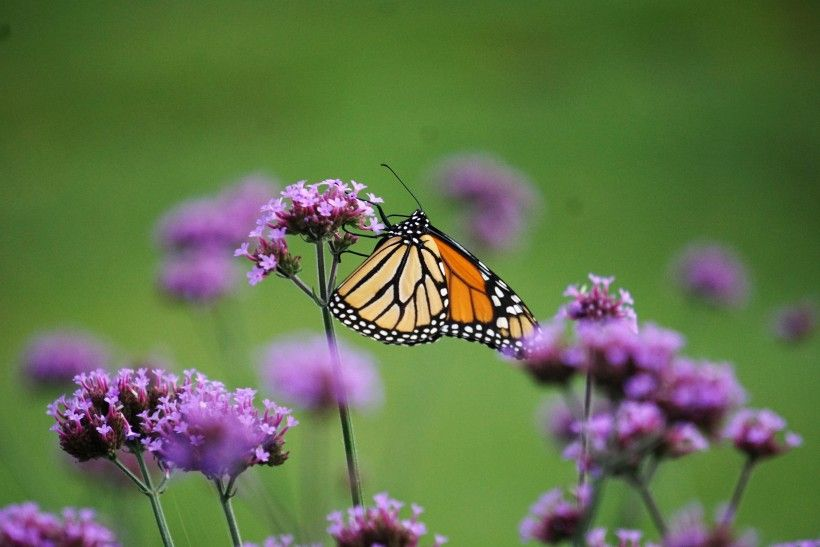 Released Monarch butterfly. Photo by Melissa Reckner.