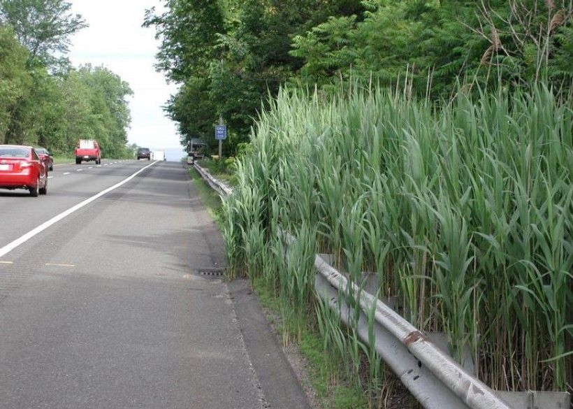 Roadside invasion of phragmites, Leslie J. Mehrhoff, University of Connecticut, Bugwood.org