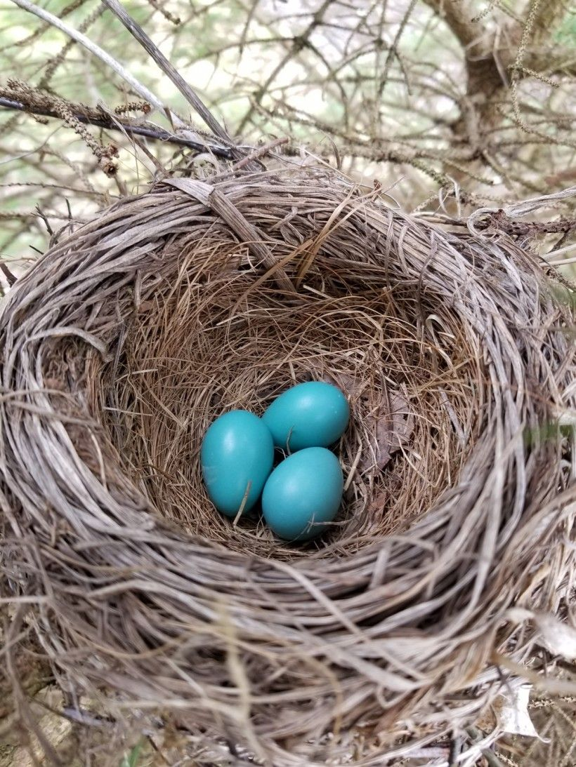 A clutch of robin eggs.