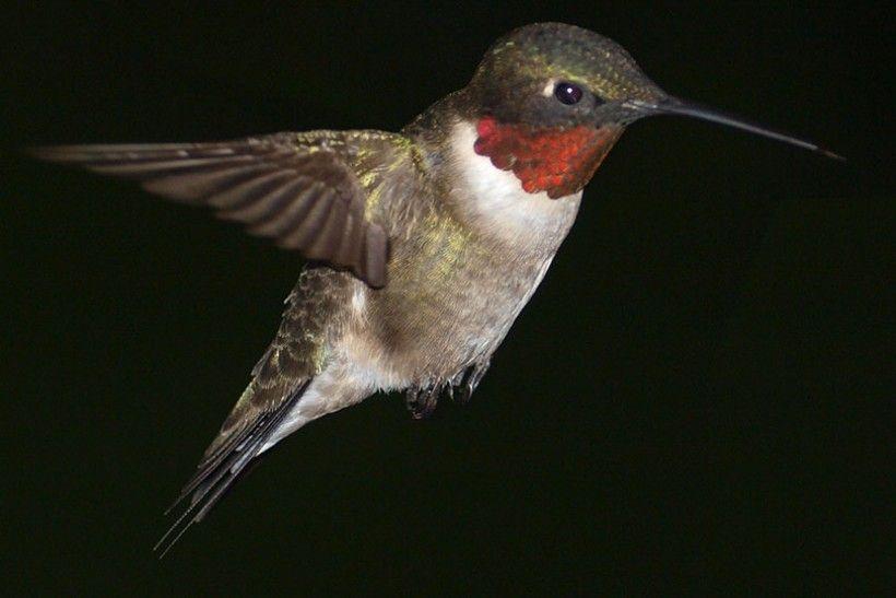Hummingbird flying at night