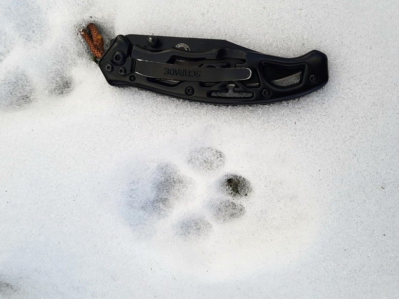 Bobcat print found in the snow at the Brandywine's Penguin Court Preserve