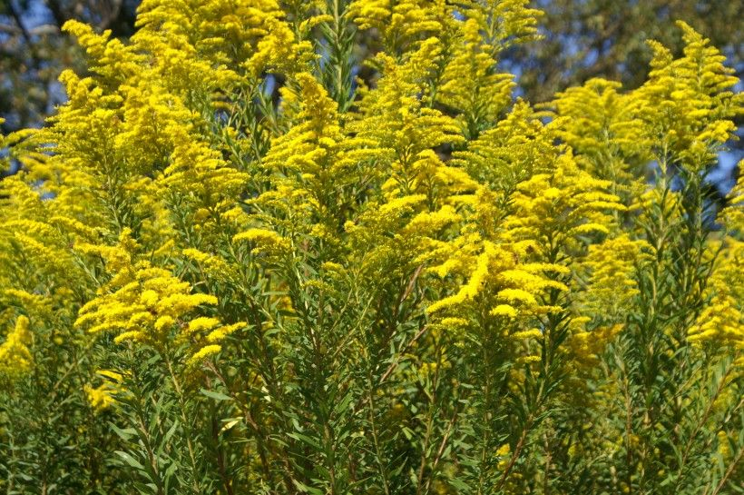 Canada goldenrod (Solidago canadensis) has showy yellow flowers. Image by Harry Rose, via Wikimedia Commons.
