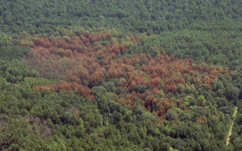 Southern pine beetle damage. Photo: USDA Forest Service-Region 8, Bugwood.org
