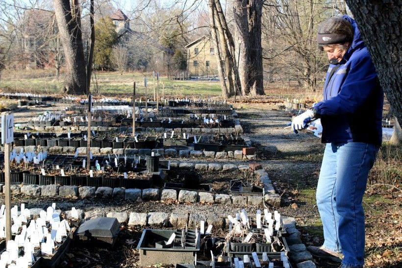 Staff gardner tending to the native plant seedlings over the winter in prepartion for the Brandywine Conservancy's Native Plant Sale in the spring