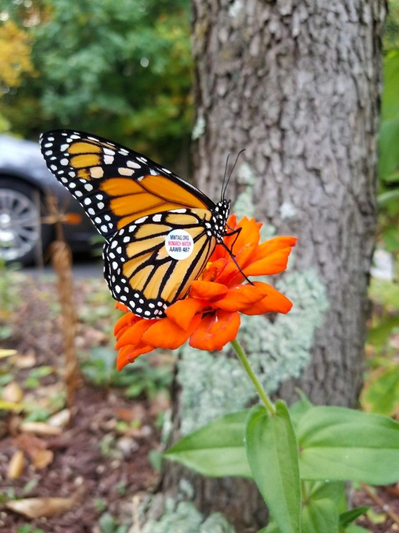 A monarch tagged by Melissa Reckner last fall rests on a zinnia.