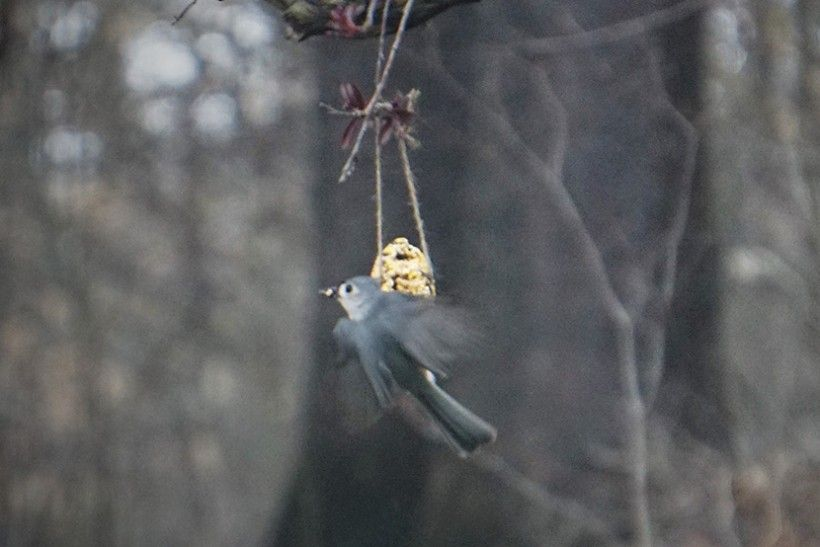 A tufted titmouse steals a seed