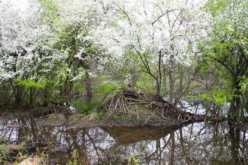 Beaver lodge at Waterloo Mills Preserve