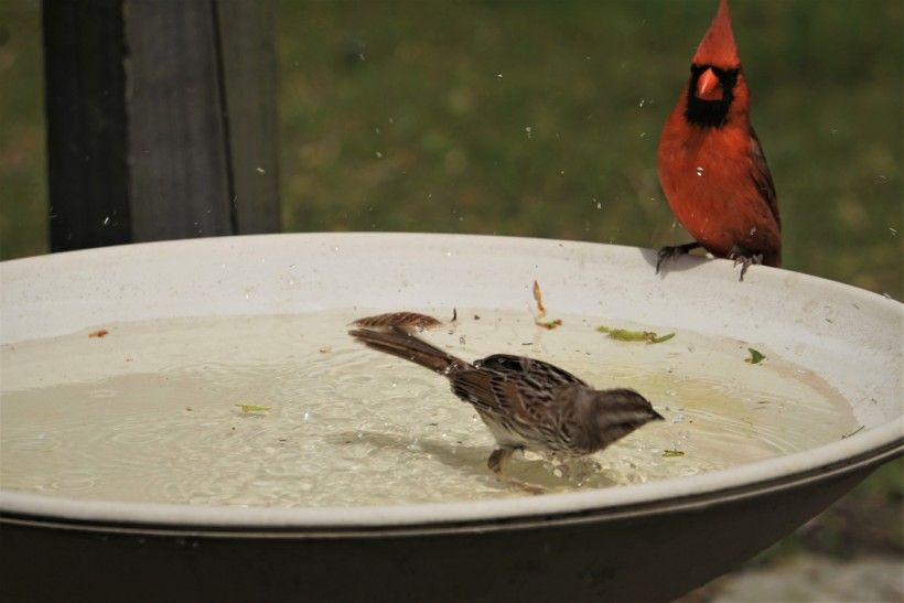 A cardinal seems incredulous that a sparrow is in his bath.
