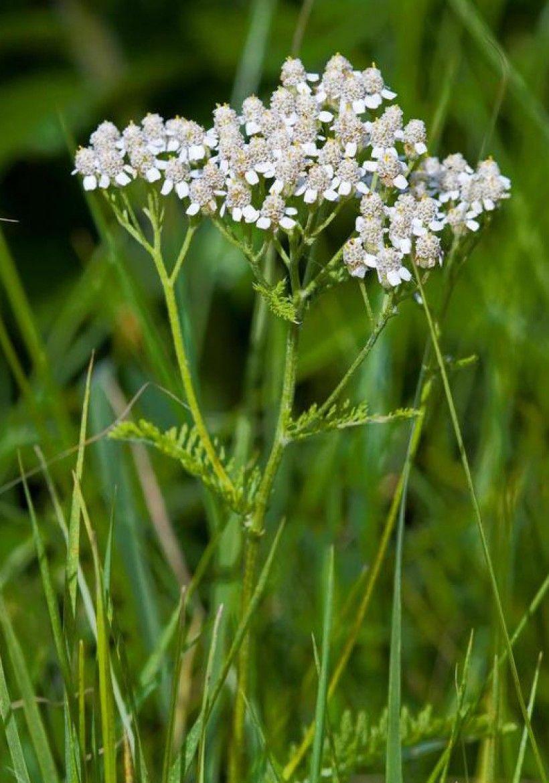 Common Yarrow flowers. Photo by David Cappaert, Bugwood.org