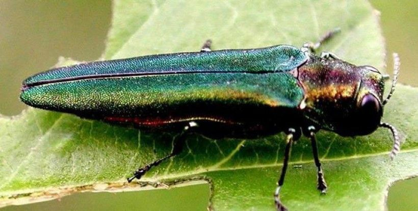 Emerald ash borer. (Photo credit: Leah Bauer, USDA Forest Service Northern Research Station, Bugwood.org)