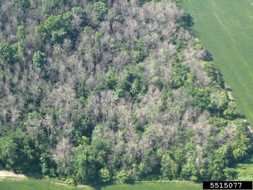 Emerald ash borer kills 99-100% of all ash trees it infests, as seen in this aerial photograph of a forest in Ontario, Canada.  (Photo credit: Troy Kimoto, Canadian Food Inspection Agency, Bugwood.org)