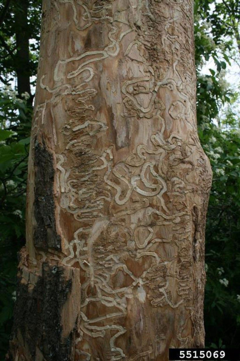 Larval tunnels on ash tree.  (Photo credit: Troy Kimoto, Canadian Food Inspection Agency, Bugwood.org)