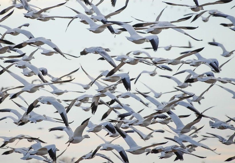 Photo of Migrating Snow Geese by Jim Moffett
