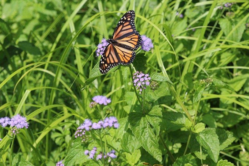 Monarch nectaring on Mistflower (Eupatorium coelestinum) at our Monarch Migration Station.
