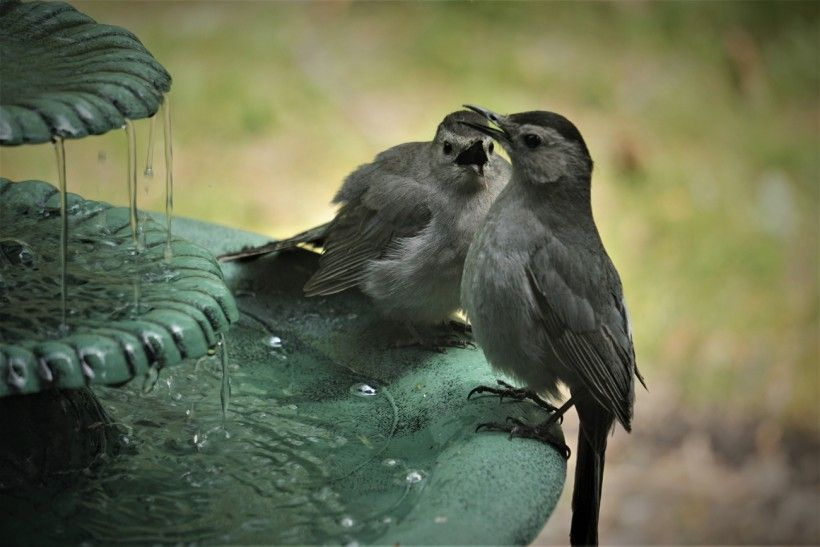A catbird seems to scold its mate at this water fountain.