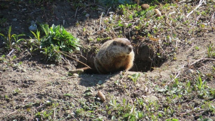 Groundhog emerging from its hole. Photo (c) Natalie via iNaturalist. Some rights reserved (CC BY-NC).