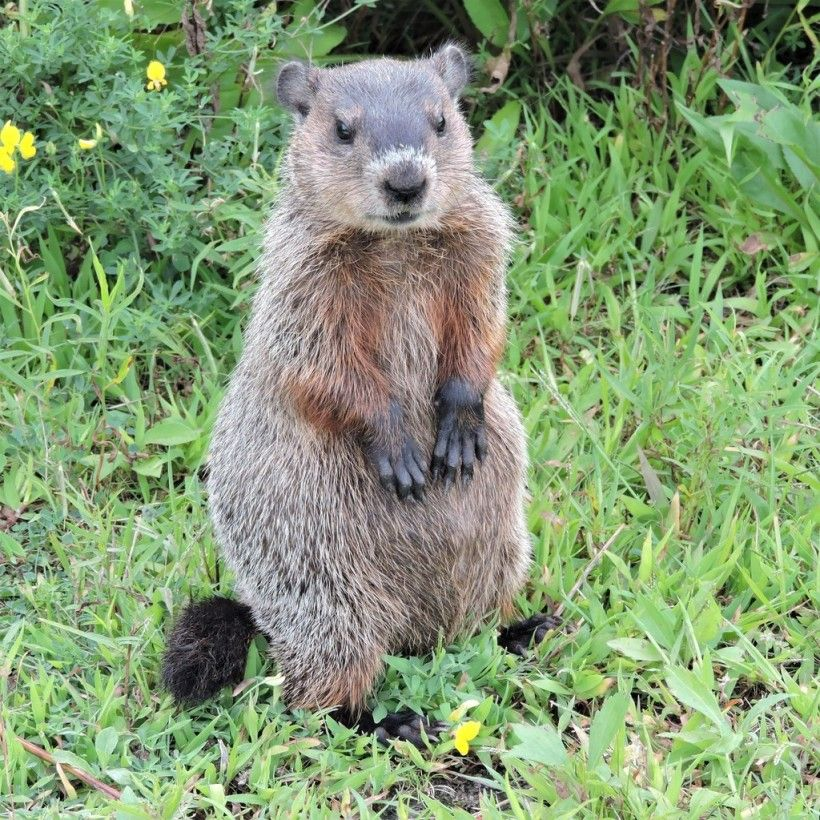 Groundhog standing upright. Photo (c) iwalk via iNaturalist. Some rights reserved (CC BY-NC).