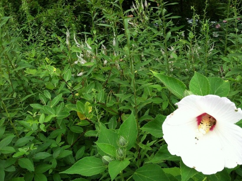 Crimson-Eyed Rose Mallow, Hibiscus moscheutos