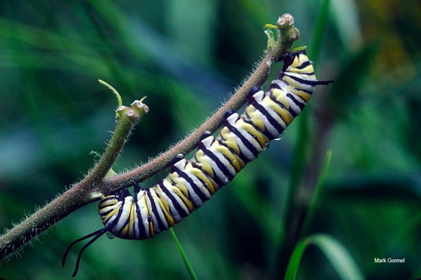 Caterpillar. Photo by Mark Gormel