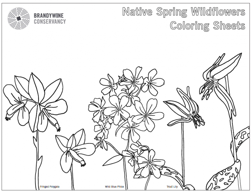 native wildflower coloring sheet