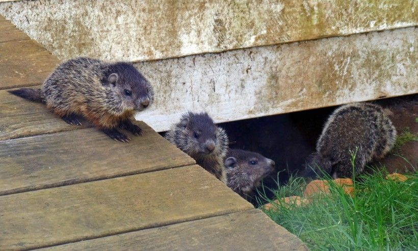 Baby groundhogs. Photo (c) Annkatrin Rose via iNaturalist. Some rights reserved (CC BY-NC-SA).