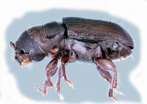 Adult Southern pine beetle