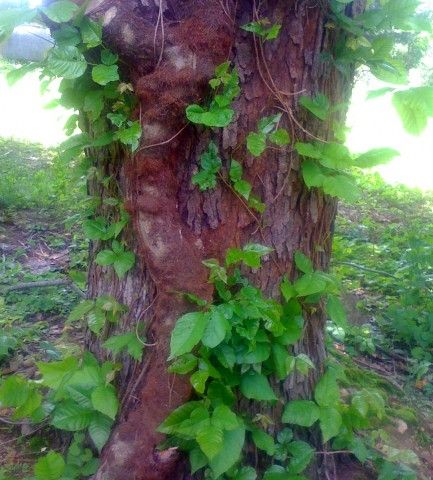 """Poison Ivy Vine and leaves (note """"hairy"""" rootlets). Photo via Wikimedia Commons."""