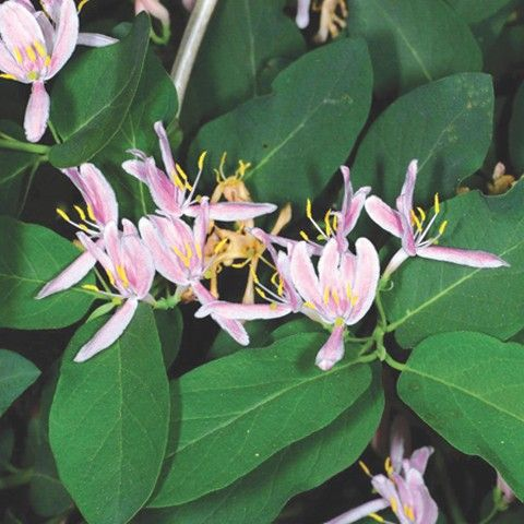 Bush Honeysuckle Invasive Plant