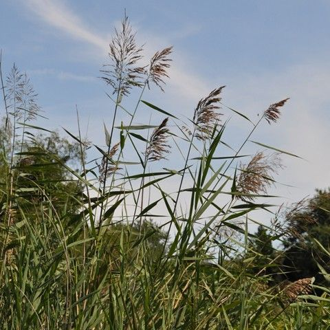Common Reed Invasive Plant