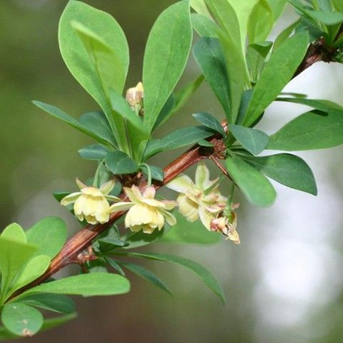 Japanese Barberry Invasive Plant