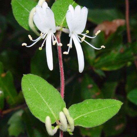 Japanese Honeysuckle Invasive Plant