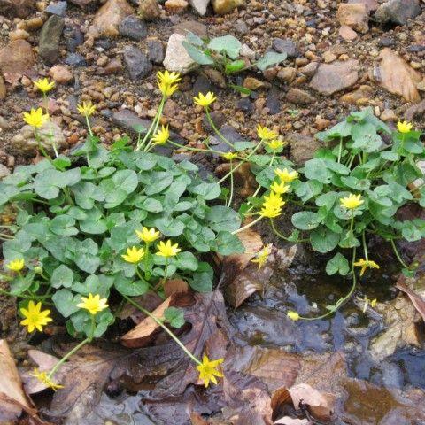 Lesser Celandine Invasive Plant