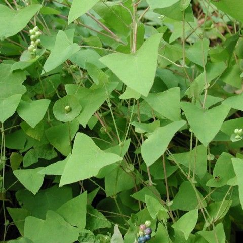 Mile-a-Minute Weed Invasive Plant