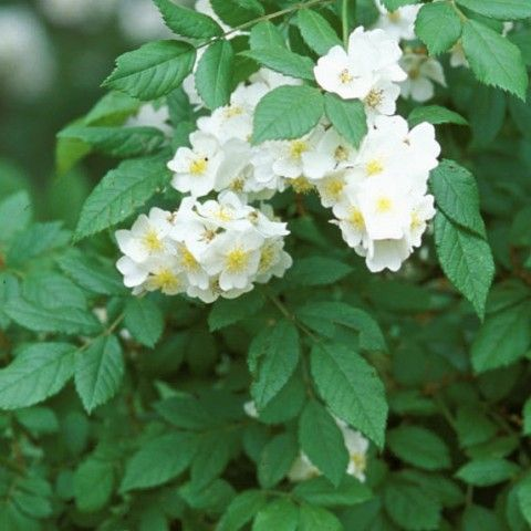 Multiflora Rose Invasive Plant