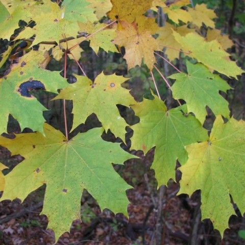 Norway Maple Invasive Tree