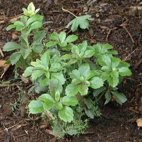 Pachysandra Invasive Plant