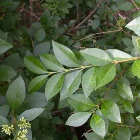 Privet Invasive Plant