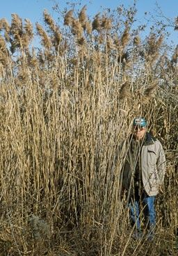 Scale view of phragmites, James H. Miller, USDA Forest Service, Bugwood.org