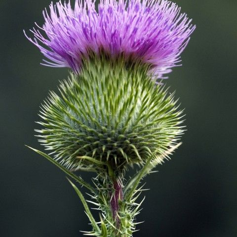 Thistle Invasive Plant
