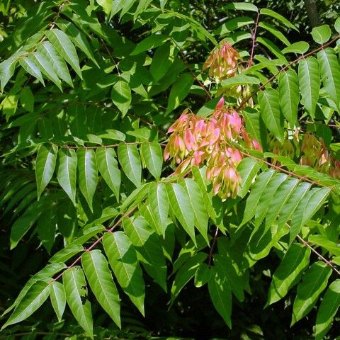 Tree of Heaven Invasive Plant