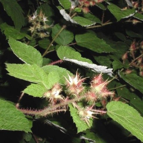 Wineberry Invasive Plant