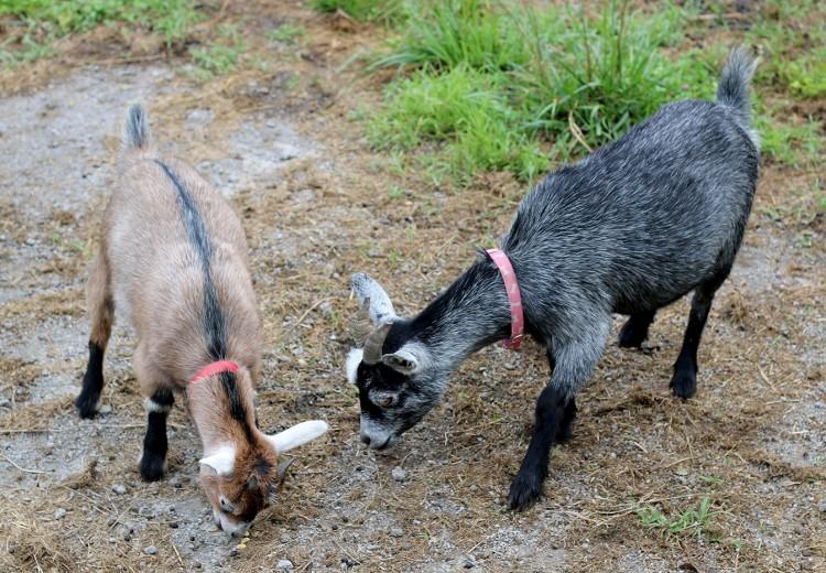 Goats at Kuerner Farm